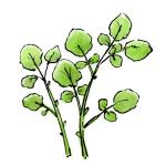 クレソン多年草野菜イラスト無料